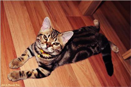 породы котов 16 (420x279, 21Kb)