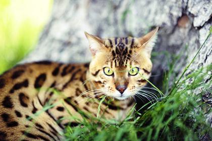породы котов 18 (420x279, 26Kb)