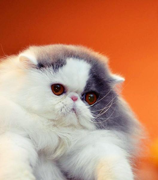 породы котов 20 (528x600, 29Kb)