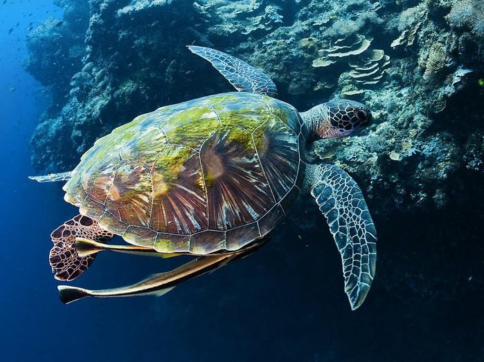 черепаха1 (700x524, 133Kb)