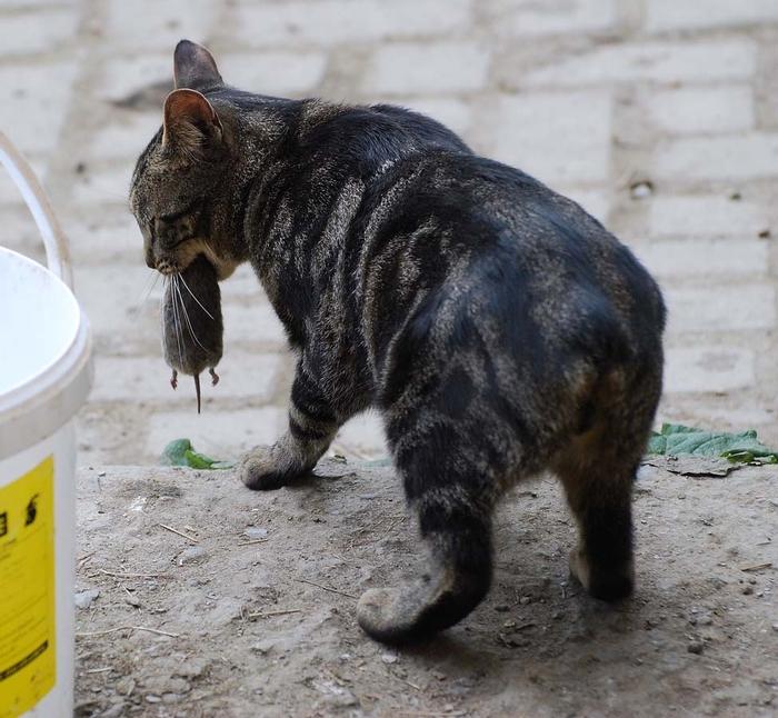 Top-10-Pedigreed-Cat-Breeds-3 (700x646, 304Kb)
