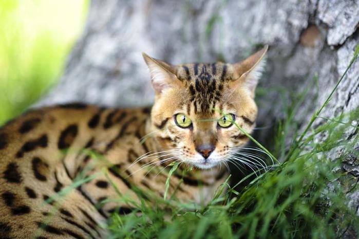Top-10-Pedigreed-Cat-Breeds-6 (700x465, 88Kb)