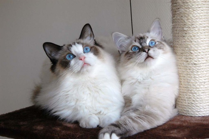 Top-10-Pedigreed-Cat-Breeds-7 (700x465, 72Kb)