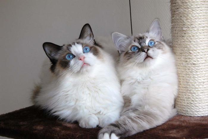 Top-10-Pedigreed-Cat-Breeds-7 (700x465, 72Kb)