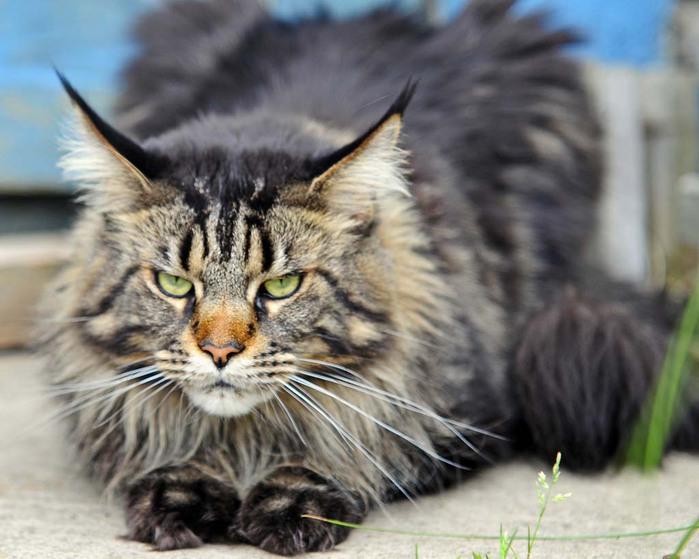 Top-10-Pedigreed-Cat-Breeds-8 (700x559, 90Kb)