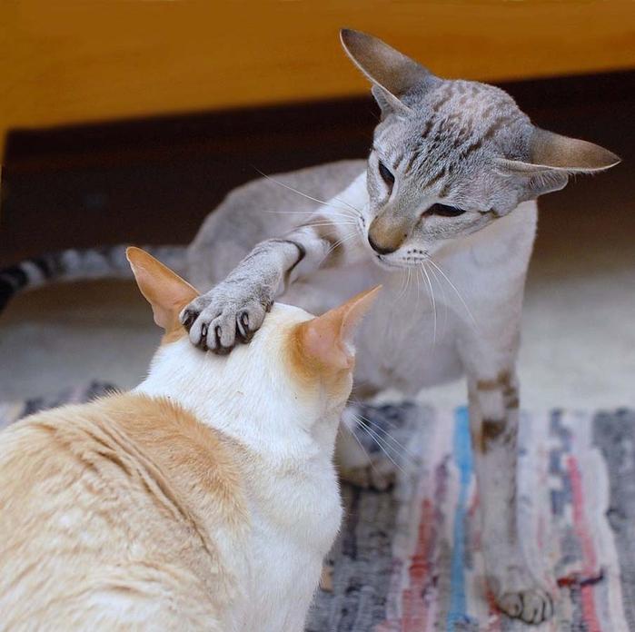 Top-10-Pedigreed-Cat-Breeds-10 (700x696, 281Kb)