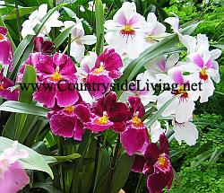 Miltonias. Орхидея Мильтония. Уход в домашних условиях