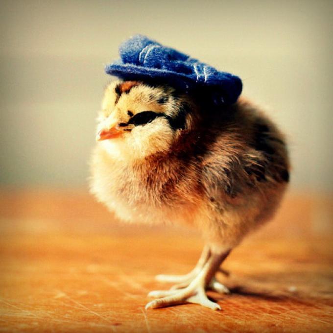 смешные фото цыплят 2 (680x680, 117Kb)
