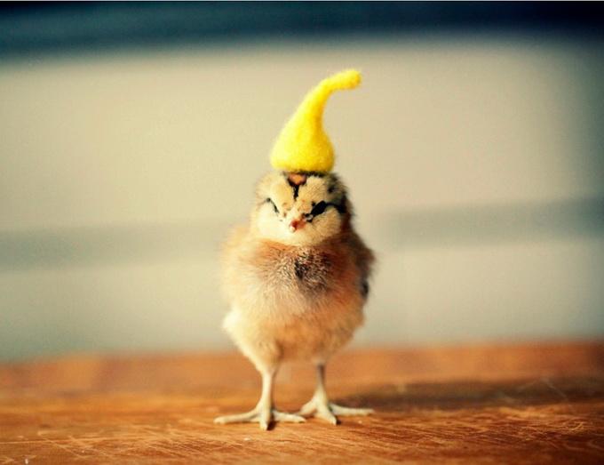 смешные фото цыплят 4 (680x523, 80Kb)