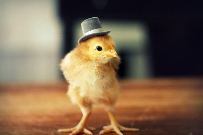 смешные фото цыплят 6 (680x454, 63Kb)