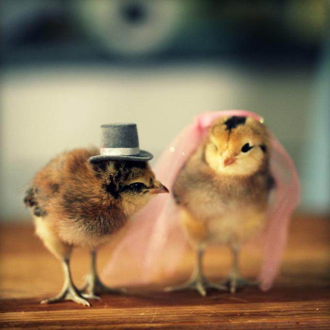 смешные фото цыплят 7 (680x680, 101Kb)