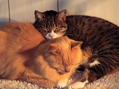 домашние-кошки3 (400x300, 130Kb)