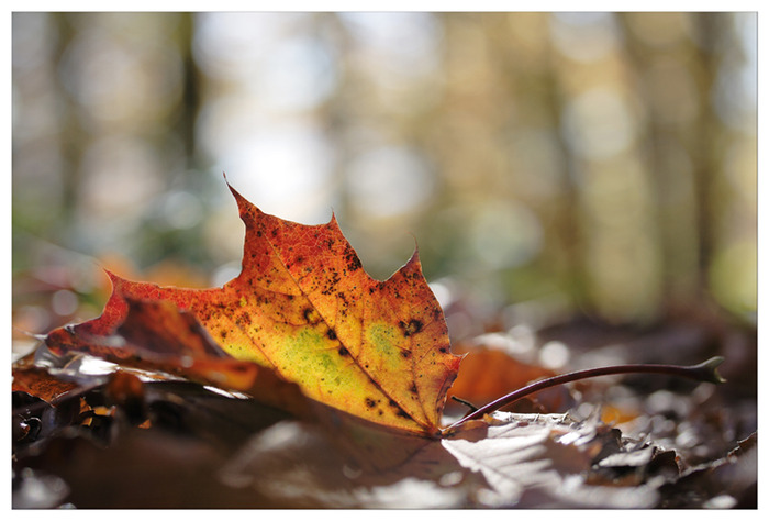 Automne___Autumn_by_devknu (700x474, 88Kb)