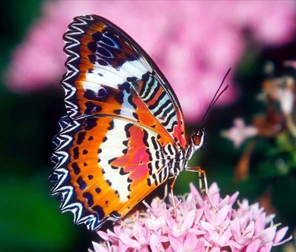 16 Mariposa (580x494, 68Kb)