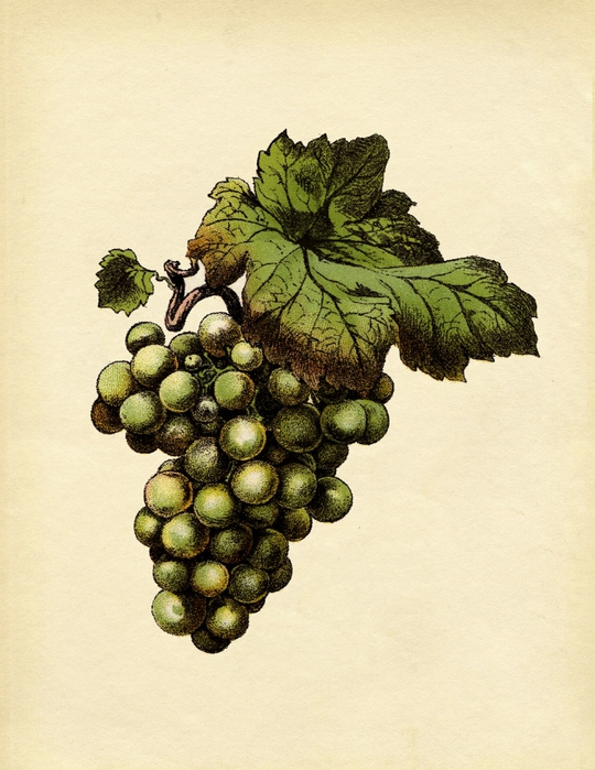 grapes2-graphicsfairysm (540x700, 288Kb)