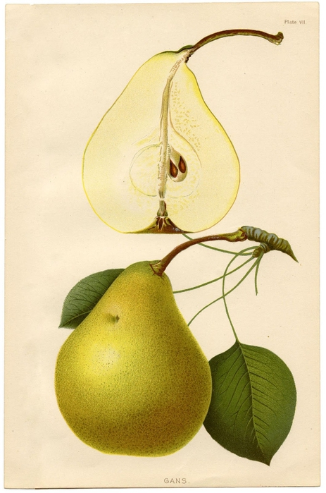 Pears-Printable-GraphicsFairysm (463x700, 214Kb)