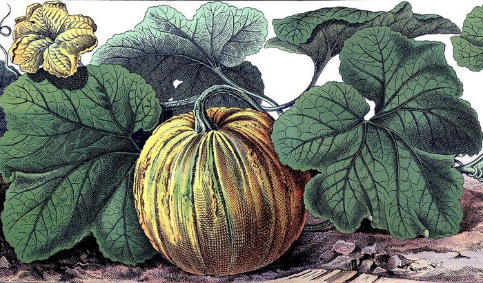 pumpkin botanical vintage graphicsfairysm2 (700x411, 153Kb)