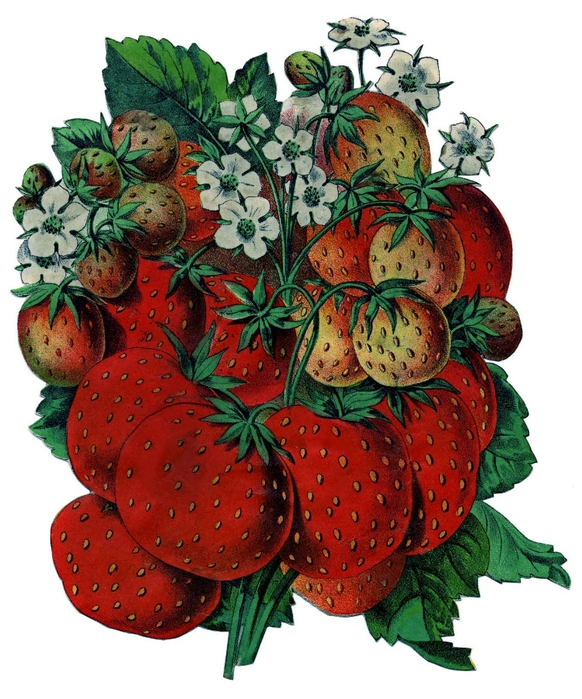 strawberries-graphicsfairy005 (582x700, 310Kb)