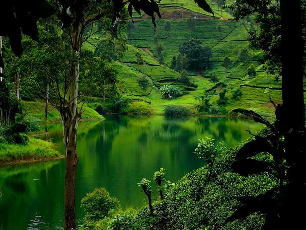 Чайные плантации Нувара Элия, Шри Ланка. Нувара Элия - это высокогорный курорт город света, расположился на высоте 1884 м над уровнем моря у подножия горы Пидуруталагала. (616x462, 149Kb)