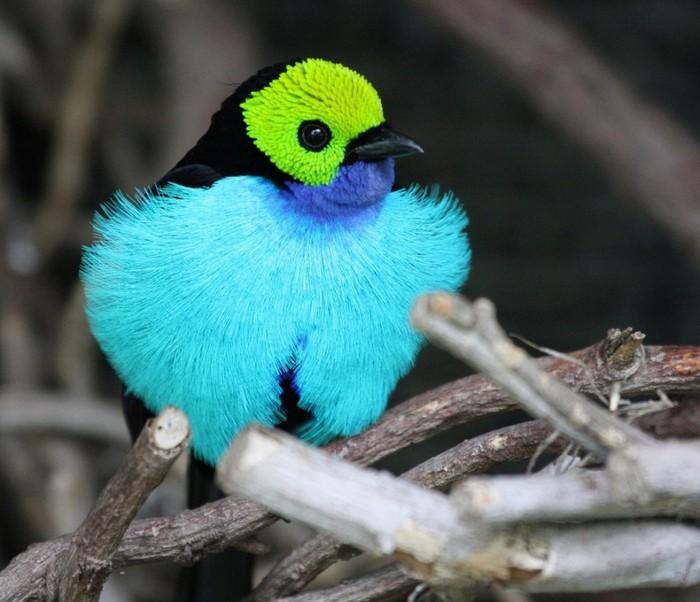 1. Павлин.  Единственная птица из этого списка, которая была одомашнена человеком.