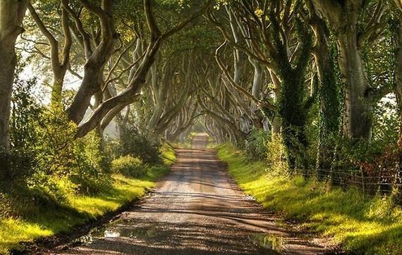 Древесный туннель в Ирландии (570x362, 219Kb)