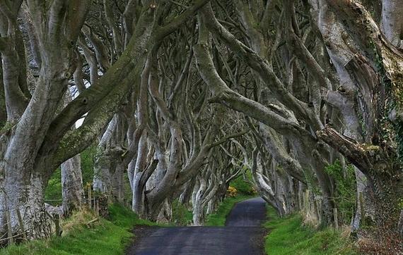 Древесный туннель в Ирландии8 (570x362, 198Kb)