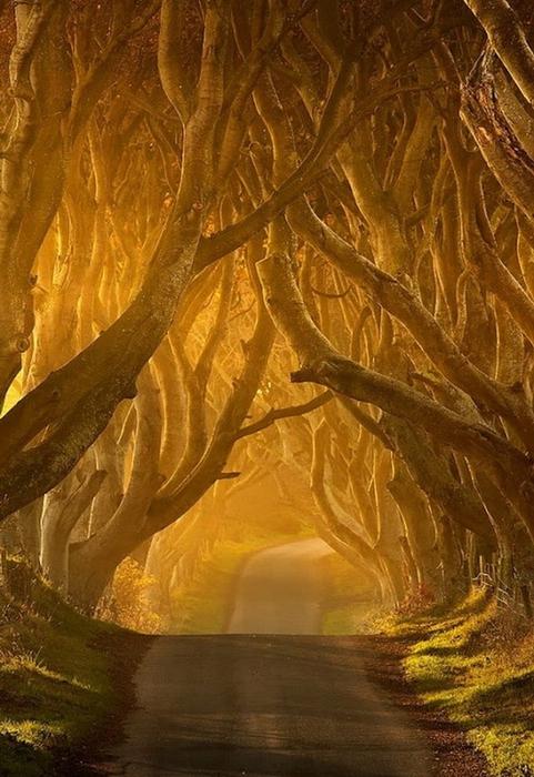 Древесный туннель в Ирландии11 (481x700, 254Kb)