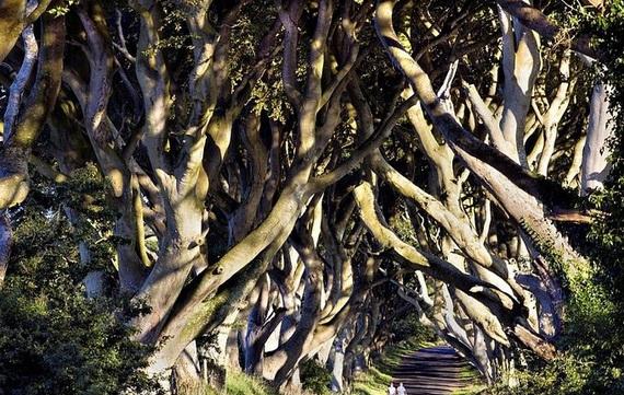 Древесный туннель в Ирландии13 (570x361, 238Kb)