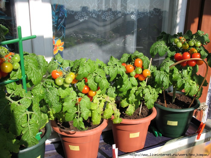 Урожай на балконе.