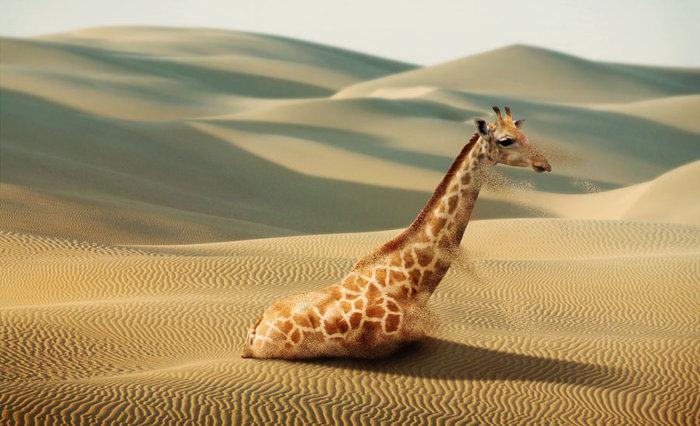 жираф (700x426, 76Kb)