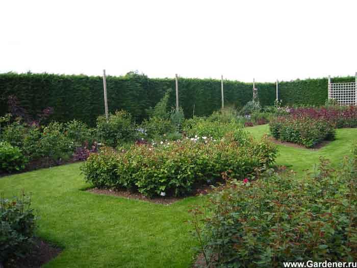 Сад роз Дэвида Остина / David Austin Roses.