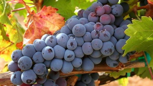 kak_sdelat_vino_iz_vinograda (520x293, 33Kb)