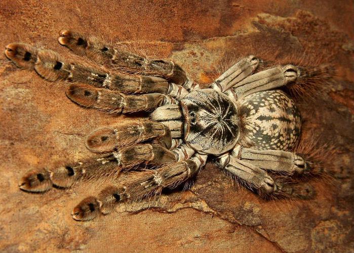 Heteroscodra maculata (700x501, 228Kb)