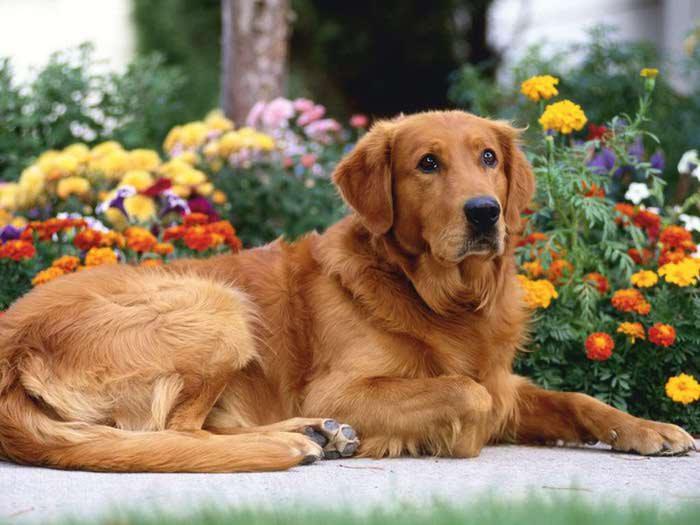 retriever_in_garden_dog_wallpapers-1024x768 (700x525, 46Kb)