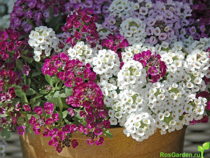 Картинки однолетних цветов 8