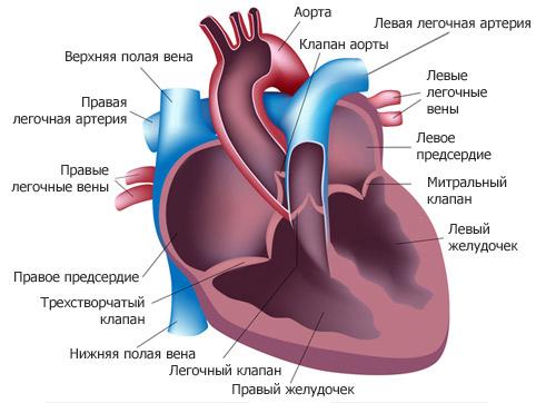 01_heart-anatomy (482x362, 45Kb)