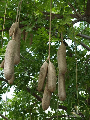 колбасное дерево (360x479, 65Kb)