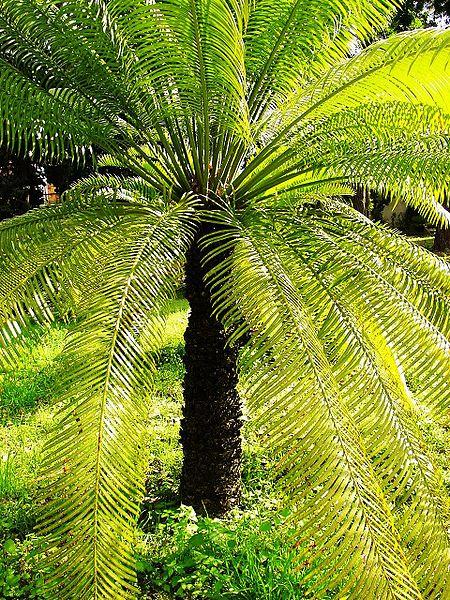 саговая пальма (450x600, 151Kb)