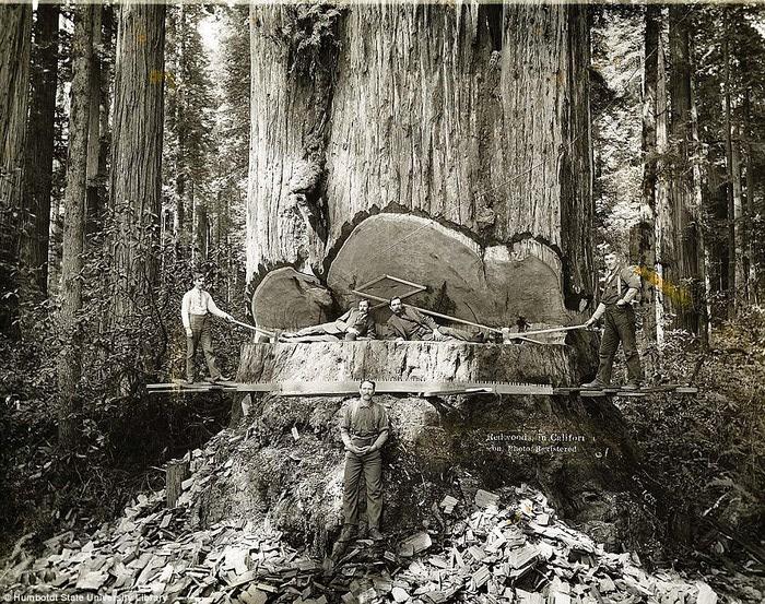 старые фотографии вырубка гигантских секвой 1 (700x553, 220Kb)