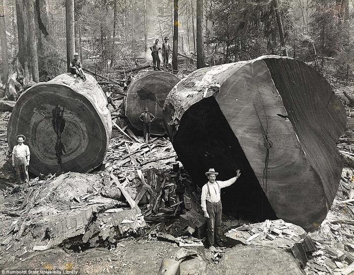 старые фотографии вырубка гигантских секвой 2 (700x542, 200Kb)
