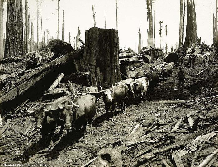 старые фотографии вырубка гигантских секвой 4 (700x537, 205Kb)