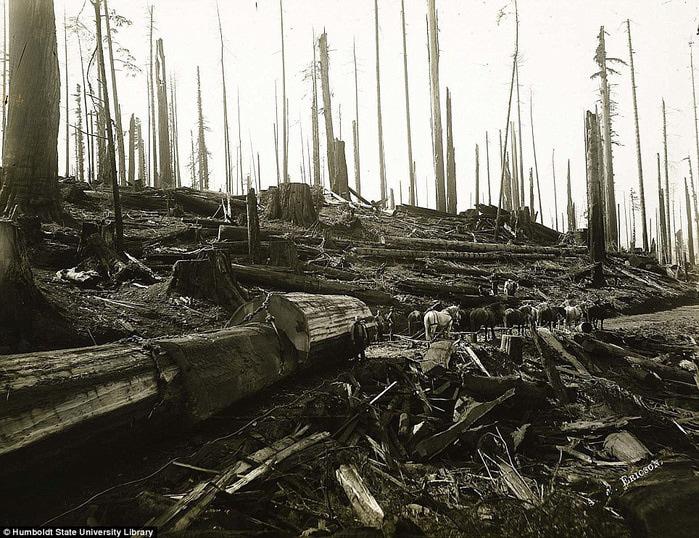 старые фотографии вырубка гигантских секвой 6 (700x538, 179Kb)