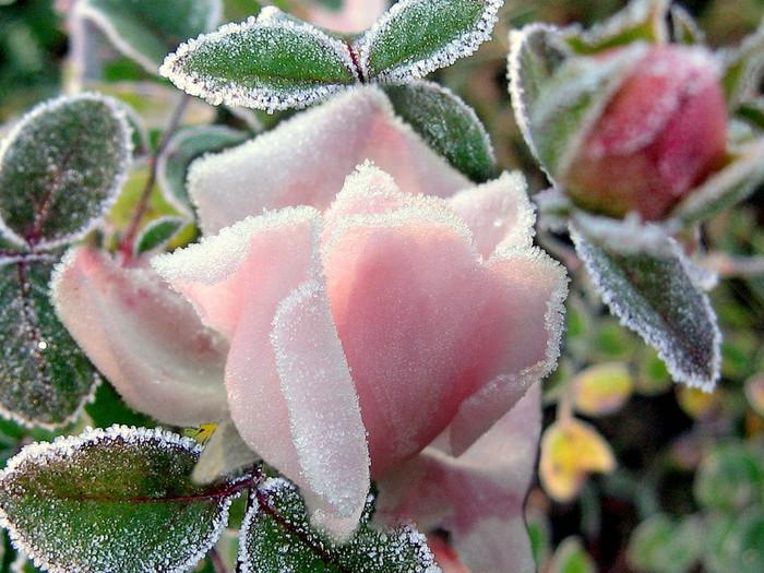 Снежные цветы картинки 6