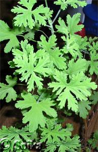 Pelargonium (194x300, 54Kb)