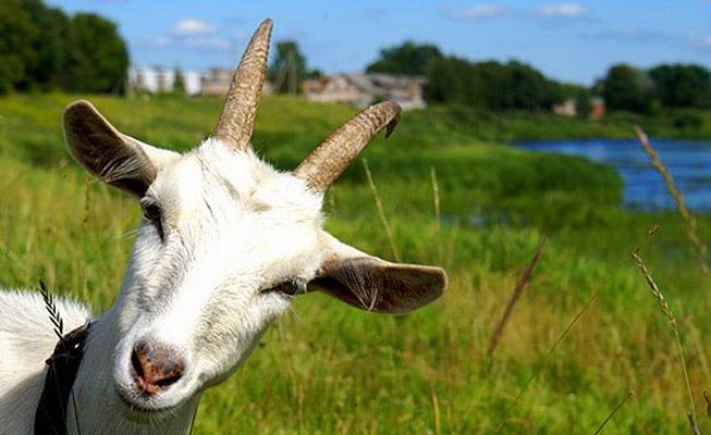 коза (653x400, 72Kb)