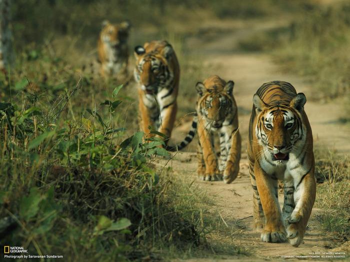 животные в фотографиях National Geographic 8 (700x525, 144Kb)