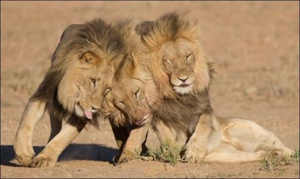 прикольные фото животных львы (604x360, 43Kb)
