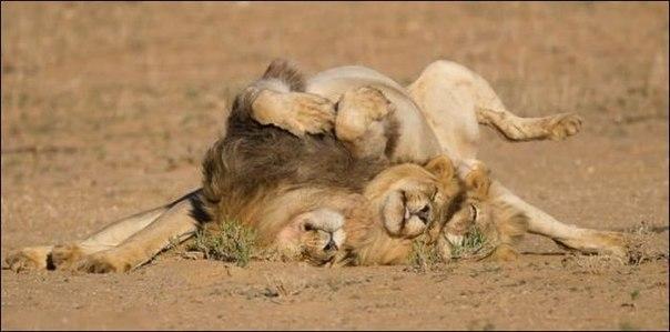 прикольные фото животных львы 2 (604x299, 36Kb)