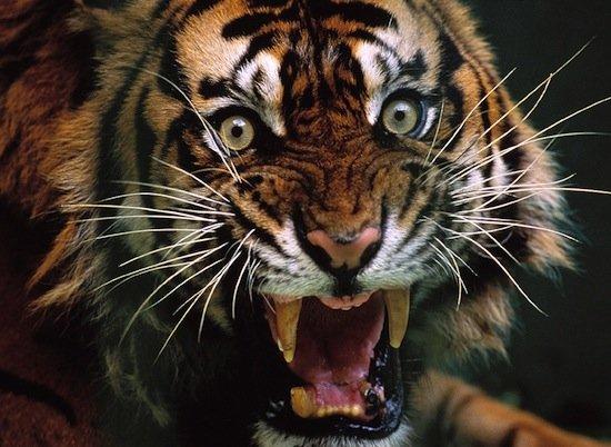 40 фактов о тиграх