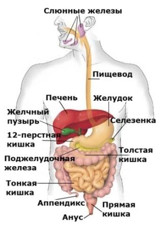 organizm (307x448, 70Kb)